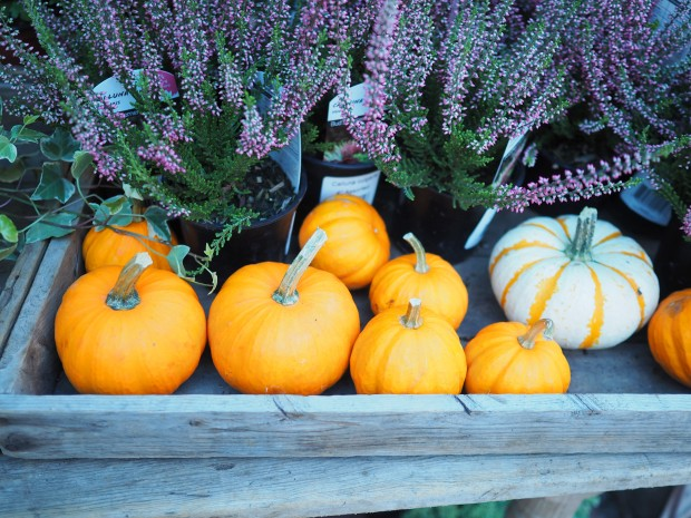 Pumpkins & Lavender